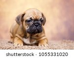 puppy of the french bulldog   Shutterstock . vector #1055331020