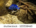 Blue Tangs Get Vertical Bars O...