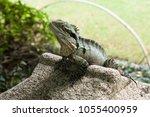 australian water dragon... | Shutterstock . vector #1055400959