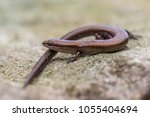 Small photo of European copper skink (Ablepharus kitaibelii) perched on rocky underground