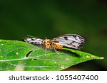 Small photo of Close up of Abraxas sp. (Magpie) moth perching on green leaf in nature, focusing on its face