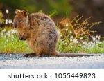a quokka  setonix brachyurus ...   Shutterstock . vector #1055449823