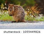 a quokka  setonix brachyurus ... | Shutterstock . vector #1055449826