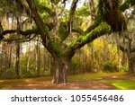 Oak tree with spanish moss on a ...