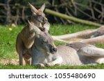 cute joey animal image. baby... | Shutterstock . vector #1055480690
