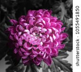 big magnificent dainty flower... | Shutterstock . vector #1055491850