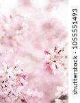 cherry blossom with beautiful... | Shutterstock . vector #1055551493