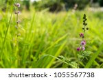 pink flowers of mimosa pudica ...   Shutterstock . vector #1055567738