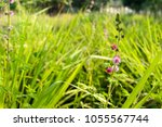 pink flowers of mimosa pudica ...   Shutterstock . vector #1055567744