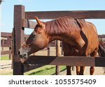 thoroughbred bay trakehner...   Shutterstock . vector #1055575409