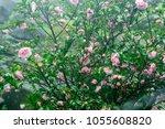 Flower Of Japanese Camellia On...
