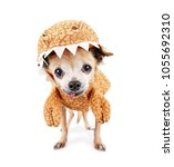 cute chihuahua dressed in a... | Shutterstock . vector #1055692310