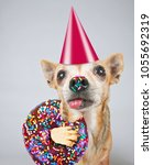 cute photo of a funny chihuahua ... | Shutterstock . vector #1055692319