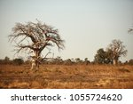 african savannah   big baobab... | Shutterstock . vector #1055724620