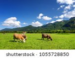 cows grazing in idyllic green... | Shutterstock . vector #1055728850