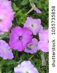 petunia. stimoryne. petunia... | Shutterstock . vector #1055735858