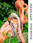 pink flamingo mother feeding...   Shutterstock . vector #1055769350