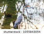 the grey heron  ardea cinerea   ... | Shutterstock . vector #1055843054