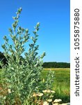 Small photo of Leaves of absinthe wormwood plant closeup in the field