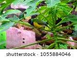 the gouldian finch  erythrura... | Shutterstock . vector #1055884046