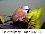 the long tailed finch  poephila ...   Shutterstock . vector #1055886134