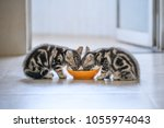 Stock photo two american cat kittens eating 1055974043