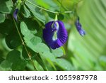 Pea Flowers Or Butterfly Pea