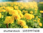 close up many yellow marigold... | Shutterstock . vector #1055997608