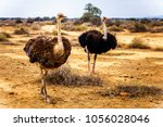 Female And Male Ostrich At An...