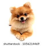 Pomeranian Dog With White...