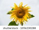 sunflower plant in the garden | Shutterstock . vector #1056230288