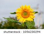 sunflower plant in the garden | Shutterstock . vector #1056230294