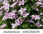 blooming clematis in the summer ... | Shutterstock . vector #1056258278