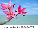 Plumeria Flowers On The Beach