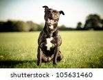 Stock photo happy black bull terrier 105631460