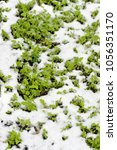 Small photo of Mustard winter green manure cover crop plants growing with snow cover, Sinapis Alba, Brassica Alba or Brassica Hirta.
