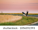 Adult European White Stork Taking Off From Agricultural Field In Belarus. Wild Field Bird In Sunset Time. - stock photo