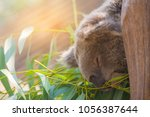 image of coala on eucalyptus... | Shutterstock . vector #1056387644