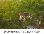 dexterous monkey walking on the ... | Shutterstock . vector #1056447104