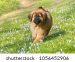 Stock photo a cute young tibetan mastiff puppy running over a spring crocus meadow this large guardian dog 1056452906