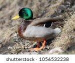 male mallard  anas... | Shutterstock . vector #1056532238