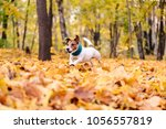 Stock photo dog with cozy scarf running through heap of colorful autumn leaves 1056557819