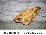 large maple span worm moth on a ... | Shutterstock . vector #1056561308
