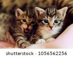 Stock photo little kittens lie and play near their mothers funny cats 1056562256