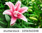 Lily Flower In Garden. Commonl...