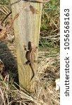 the female sand lizard is... | Shutterstock . vector #1056568163
