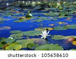 White Water Lilies Floating In...