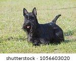 portrait of the scottish... | Shutterstock . vector #1056603020
