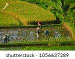 planting rice in bali ...   Shutterstock . vector #1056637289