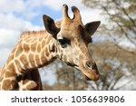 close up of a rostchild giraffe ... | Shutterstock . vector #1056639806